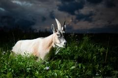 NadineLamoureux_goat